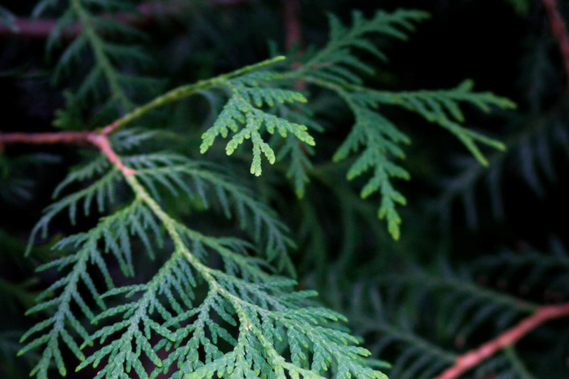 natural-backgrounds-branches-of-evergreen-tree