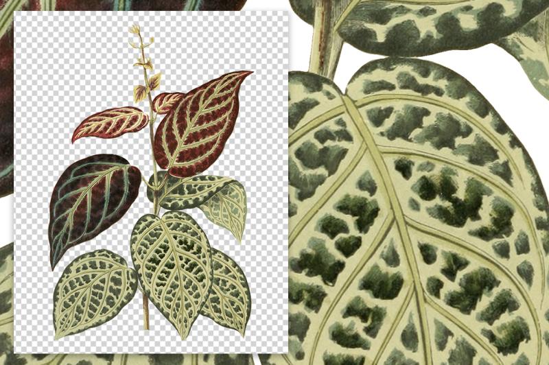 leaves-vintage-bigonia-argyro-violascens
