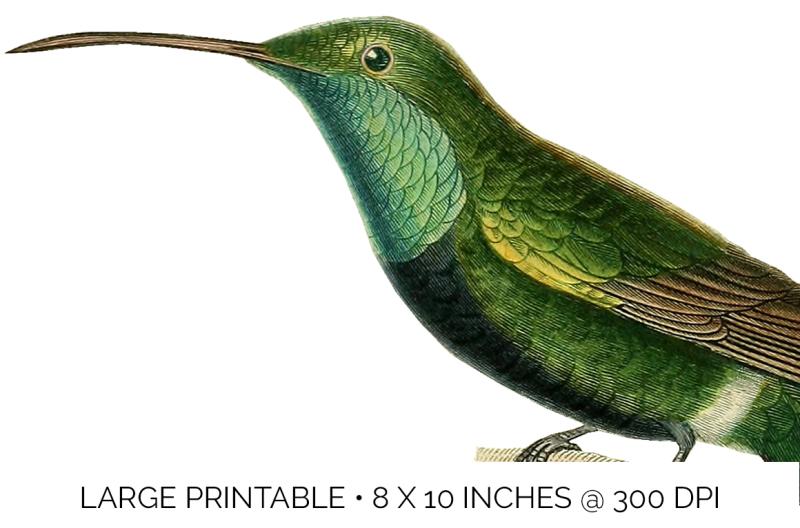 hummingbird-clipart-vintage