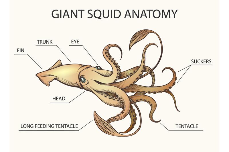giant-squid-anatomy-illustration