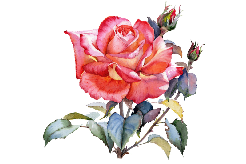 red-rose-realistic-png-watercolor-set
