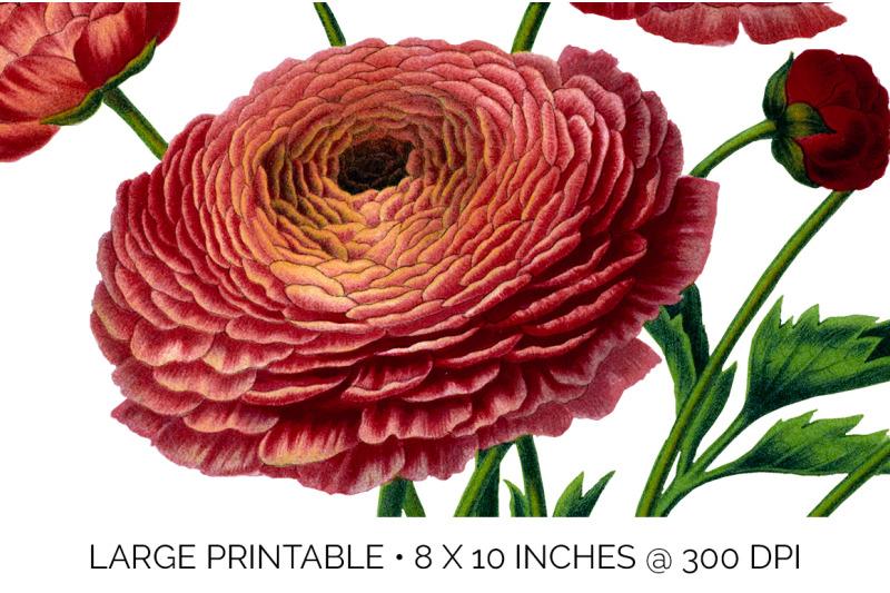 ranunculus-bouquet-clipart