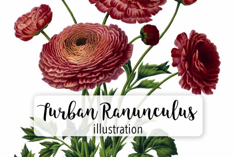 vintage-watercolor-turban-ranunculus