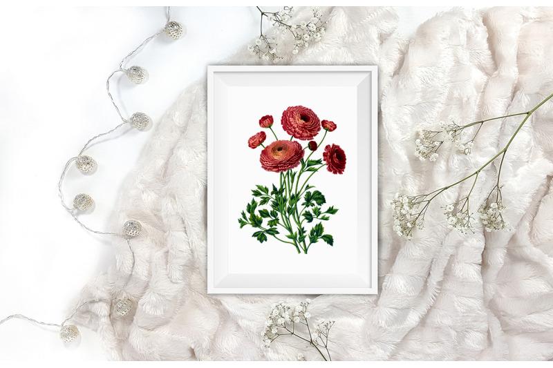 ranunculus-bouquet-clipart-png-turban-ranunculus