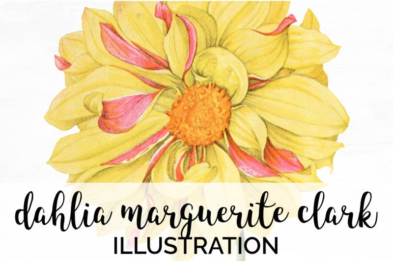 dahlia-flowers-clipart