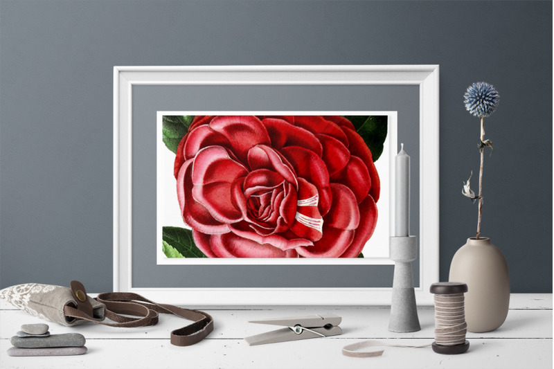 camellia-red-flowers