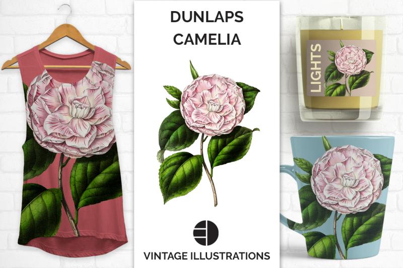 vintage-watercolor-dunlaps-japanese-camellia