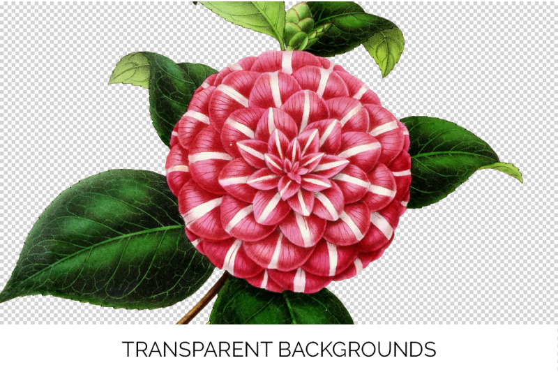 camellia-pink-flowers