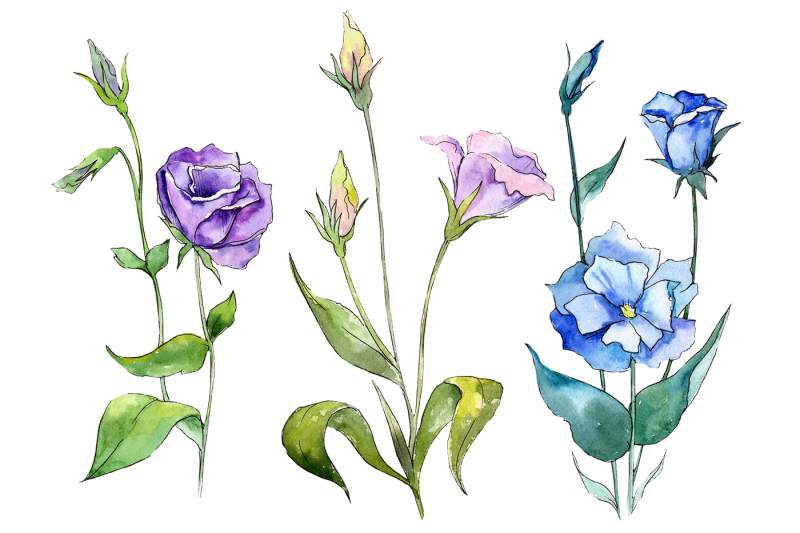 blue-and-purple-eustoma-png-watercolor-set