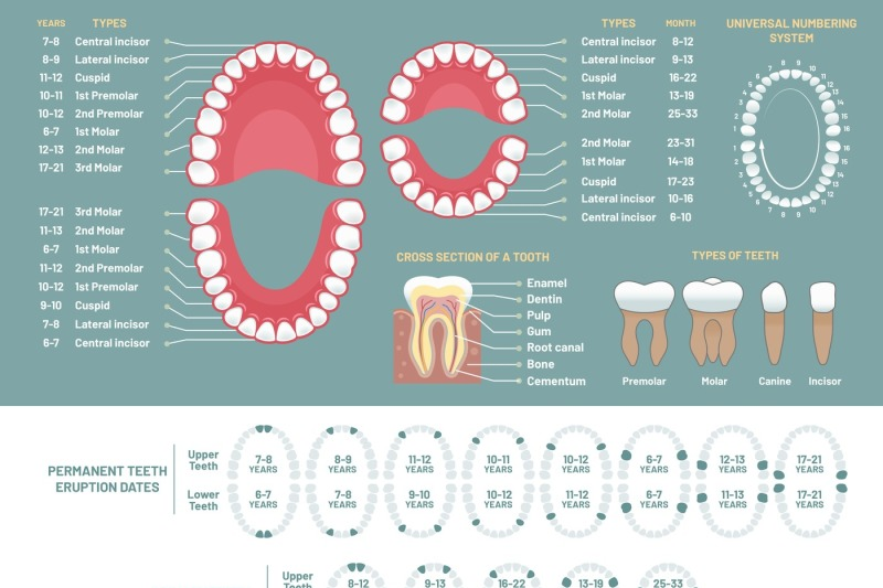 tooth-anatomy-chart-orthodontist-human-teeth-loss-diagram-dental-sch