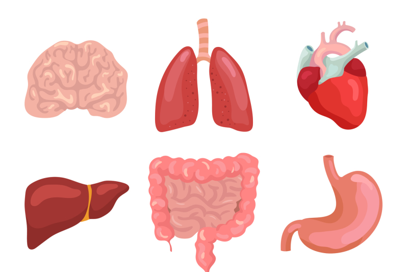 cartoon-human-body-organs-healthy-digestive-circulatory-organ-anato