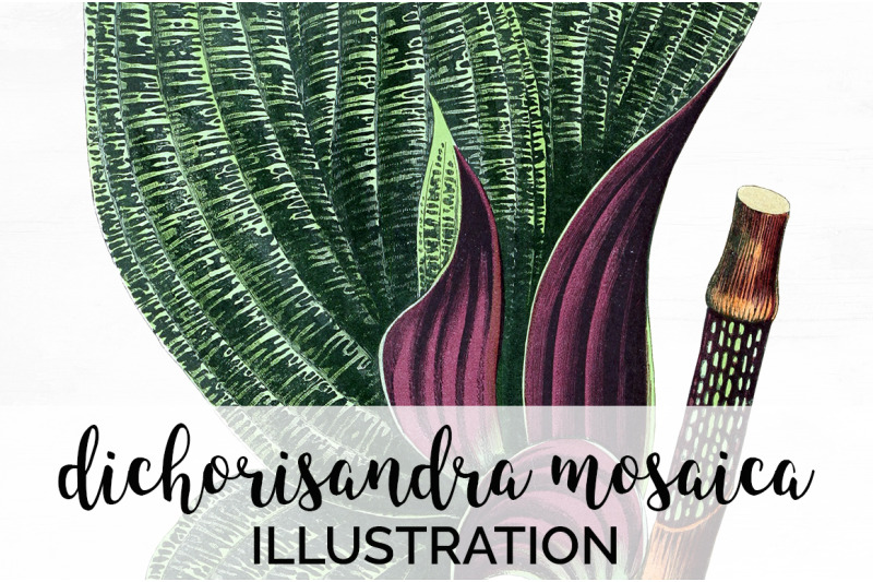 dichorisandra-mosaica