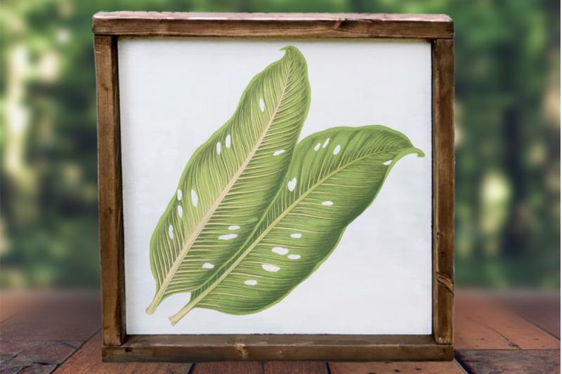 dieffenbachia-baraquiniana