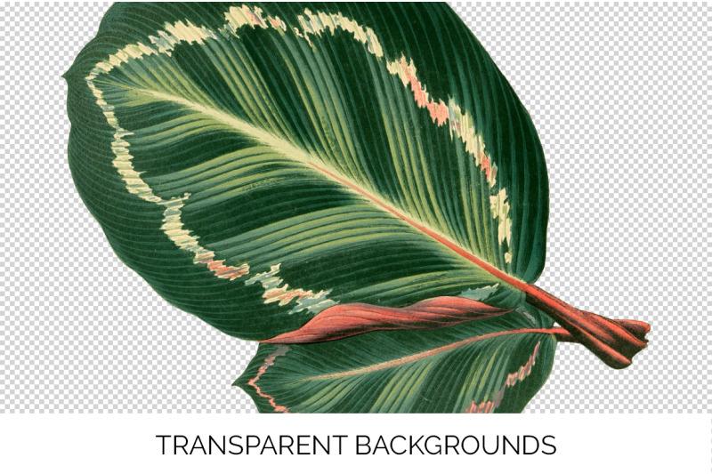 maranta-illustris