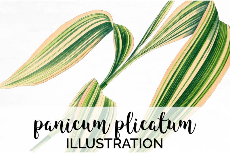panicum-plicatum