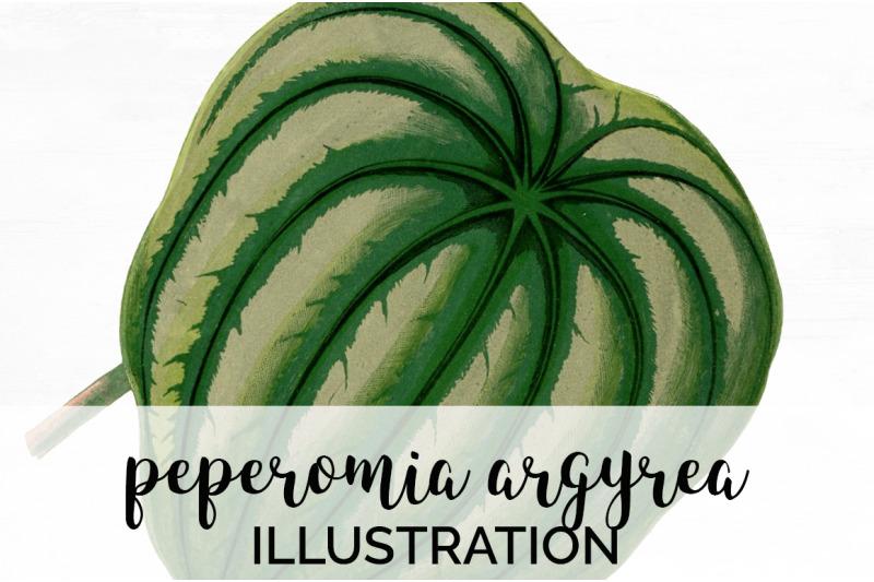 peperomia-argyrea