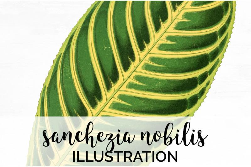 sanchezia-nobilis