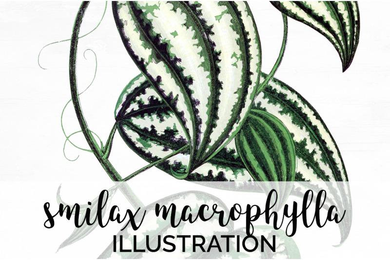 smilax-macrophylla