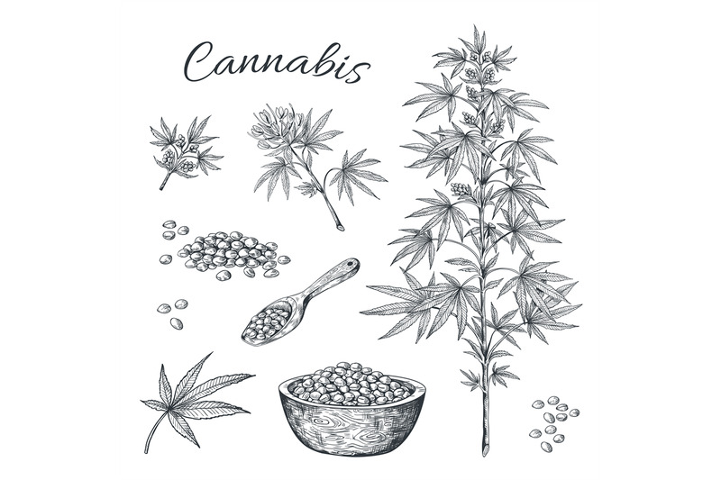 hand-drawn-cannabis-hemp-plant-with-seeds-leaves-and-cons-vintage-li