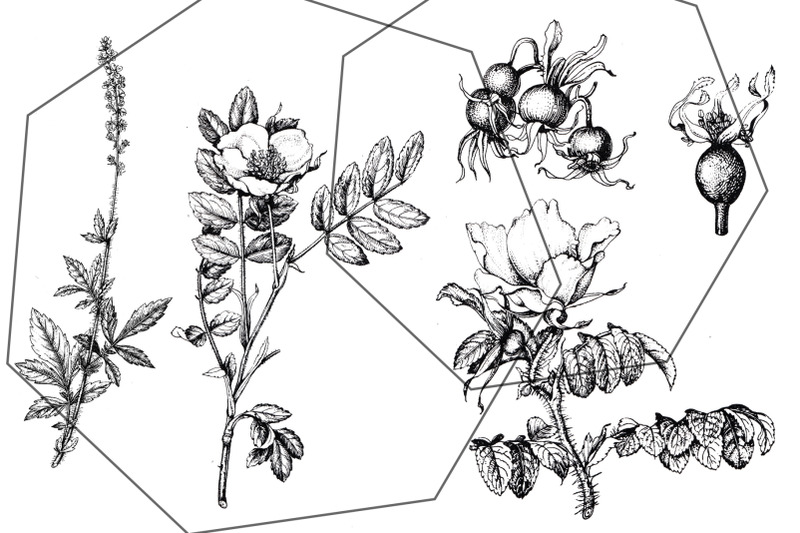 black-botanical-garden-ink-floral-transparent-sketches-flowers-amp-berr
