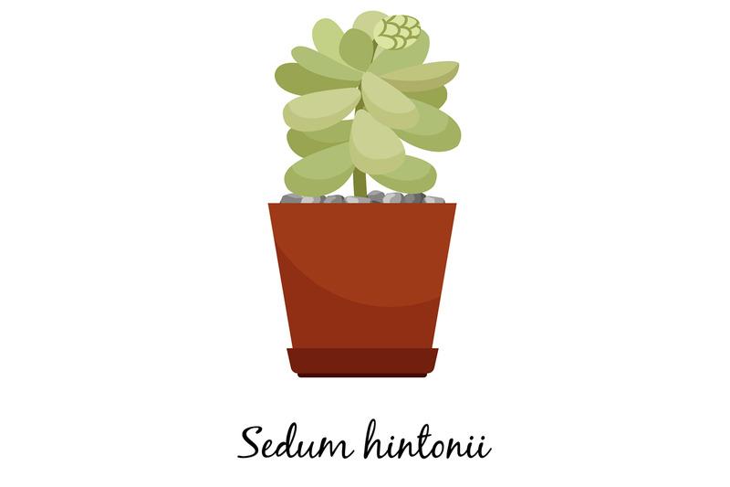 sedum-hintonii-cactus-in-pot