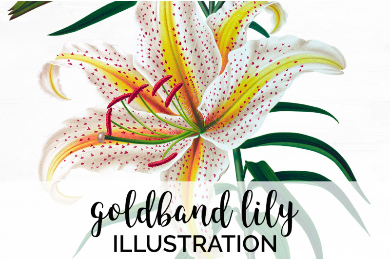 lily-clipart