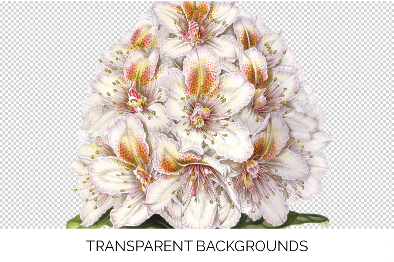 rhododendron-clipart
