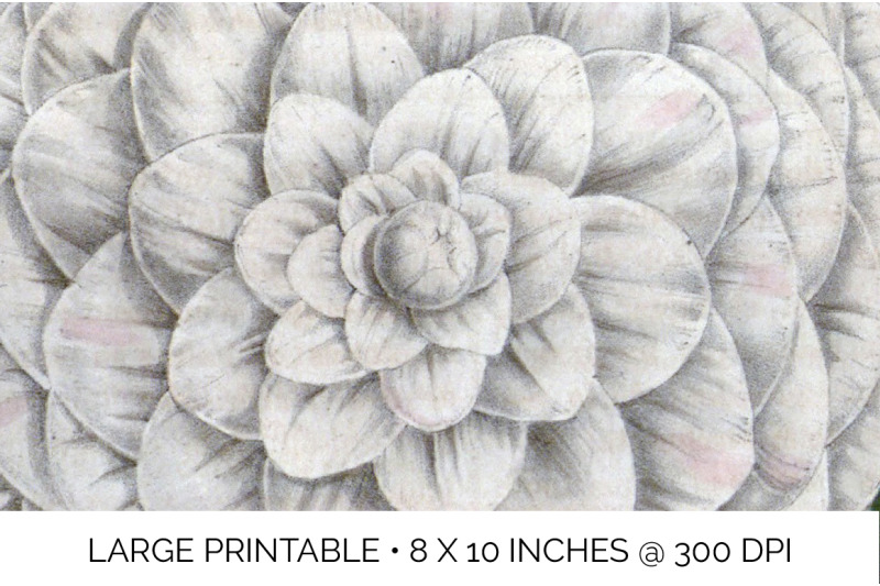 flowers-mrs-abby-wilder-camellia-vintage-clipart-graphics