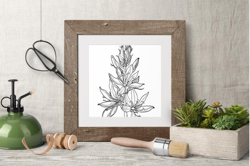 flowers-camassia-quamash-vintage-clipart-graphics