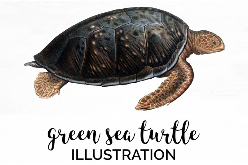 turtle-green-sea-turtle-vintage-clipart-graphics