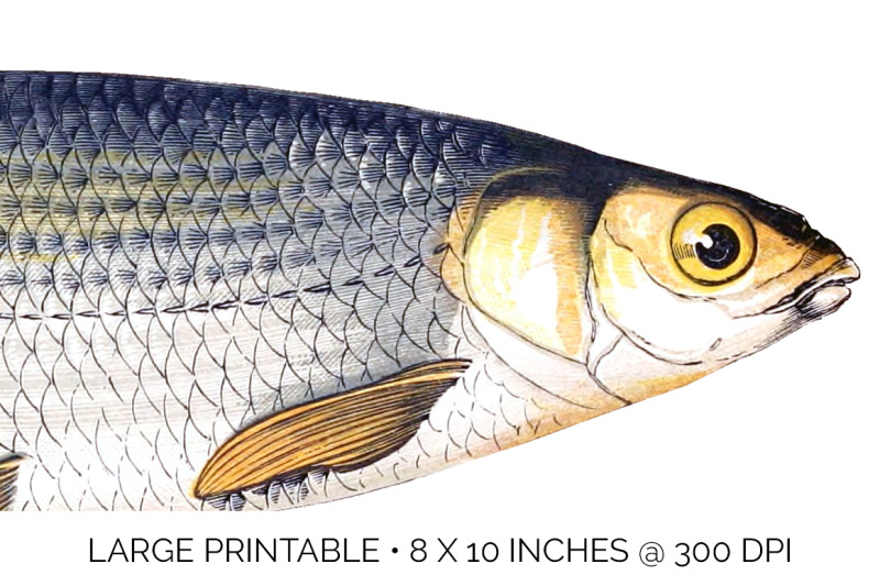 fish-dace-fish