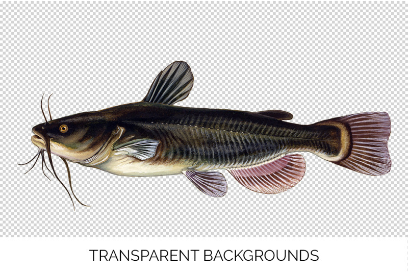 catfish-fish-clipart