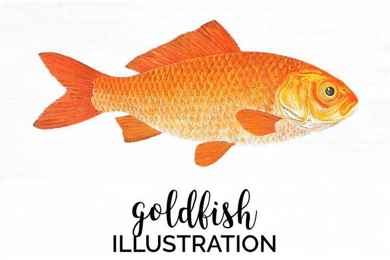 koi-goldfish-clipart