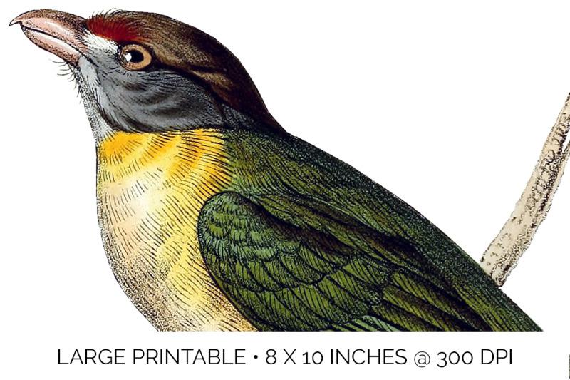 bird-brazilian-shrike-bird