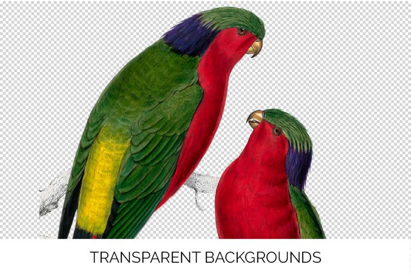 parrot-lorikeet-clipart
