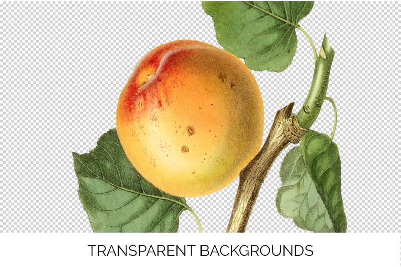 apricot-fruit-clipart