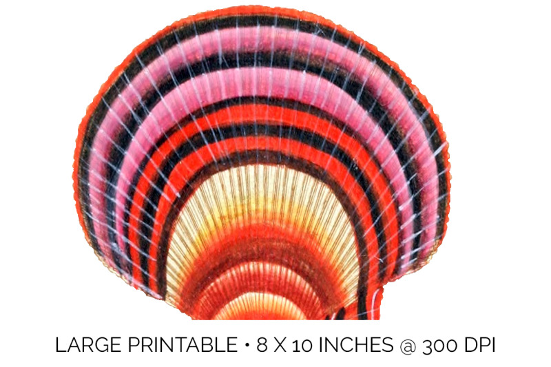 shells-scallop-and-argus-shells-vintage-clipart-graphics