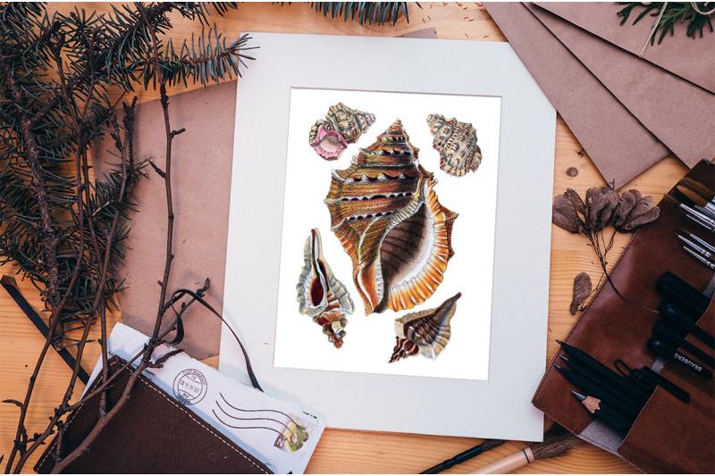 shells-ranella-shells-vintage-clipart-graphics