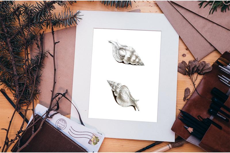 shells-murex-white-shells-vintage-clipart-graphics