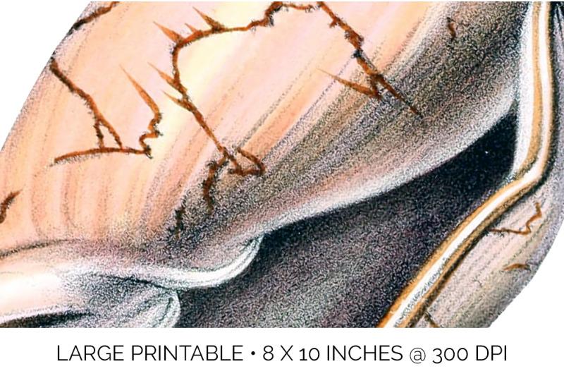 shells-bat-volute-vintage-clipart-graphics