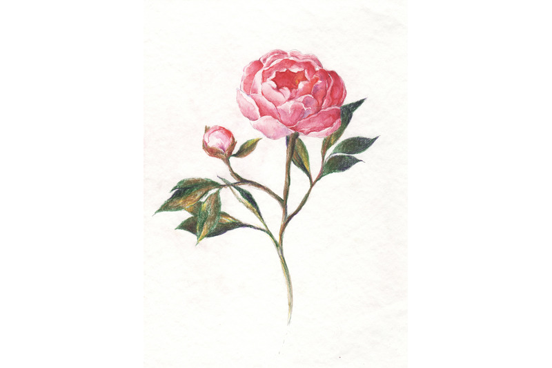 hand-drawn-watercolor-and-pencil-peony-illustration