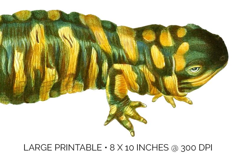 salamander-clipart