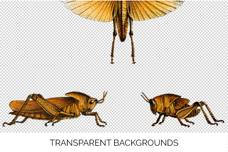 insect-grasshopper-bugs