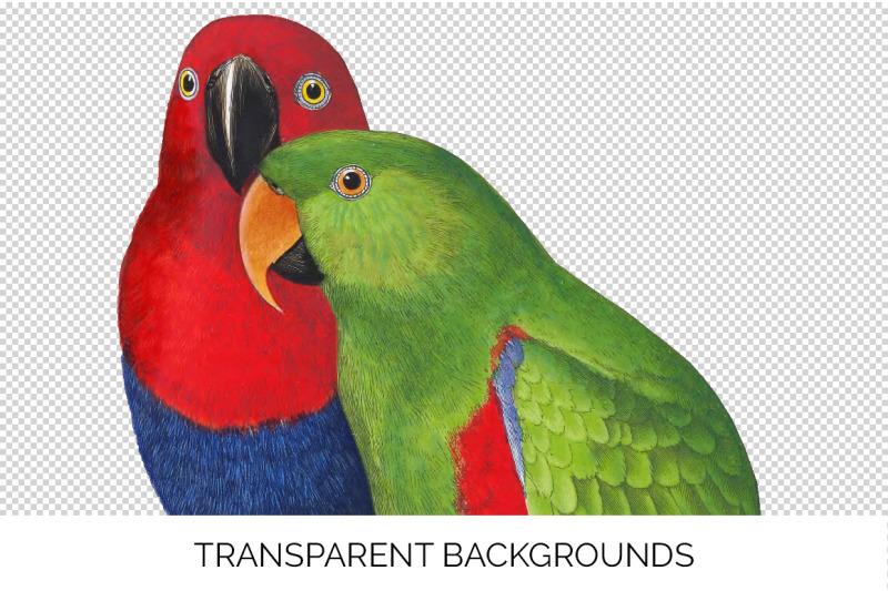 parrot-clipart-eclectus