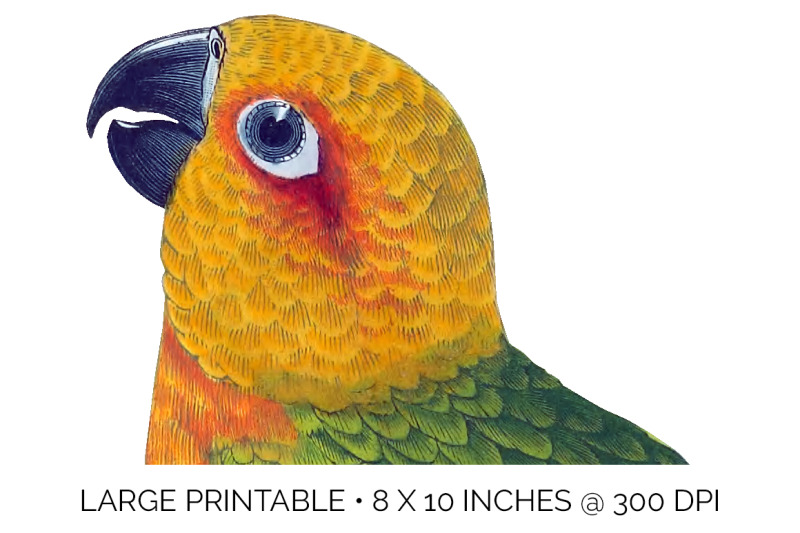parrot-clipart-conure