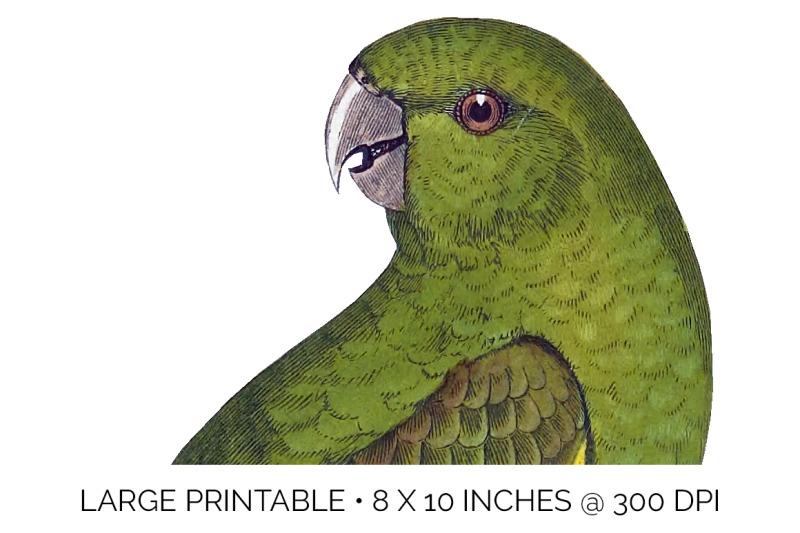 parrot-conure-clipart