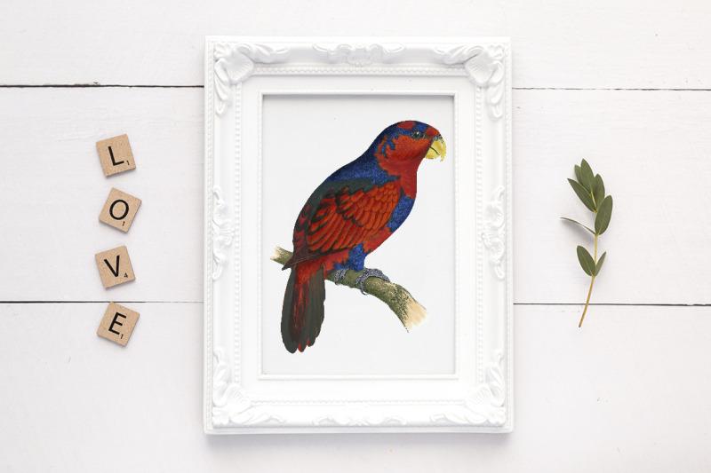 parrot-lory-clipart