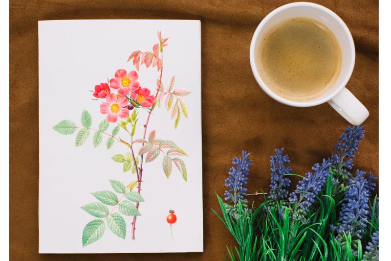 red-vintage-flowers-botanical-iliustration-vintage-rose