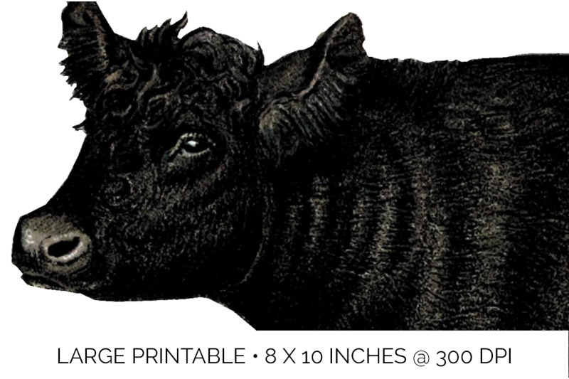 cow-clipart-galloway