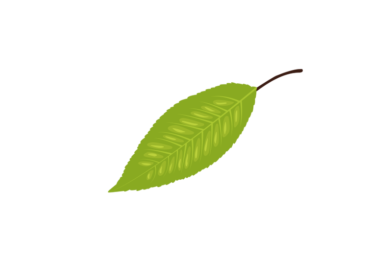 sweet-cherry-leaf